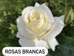 Essência Rosas Brancas